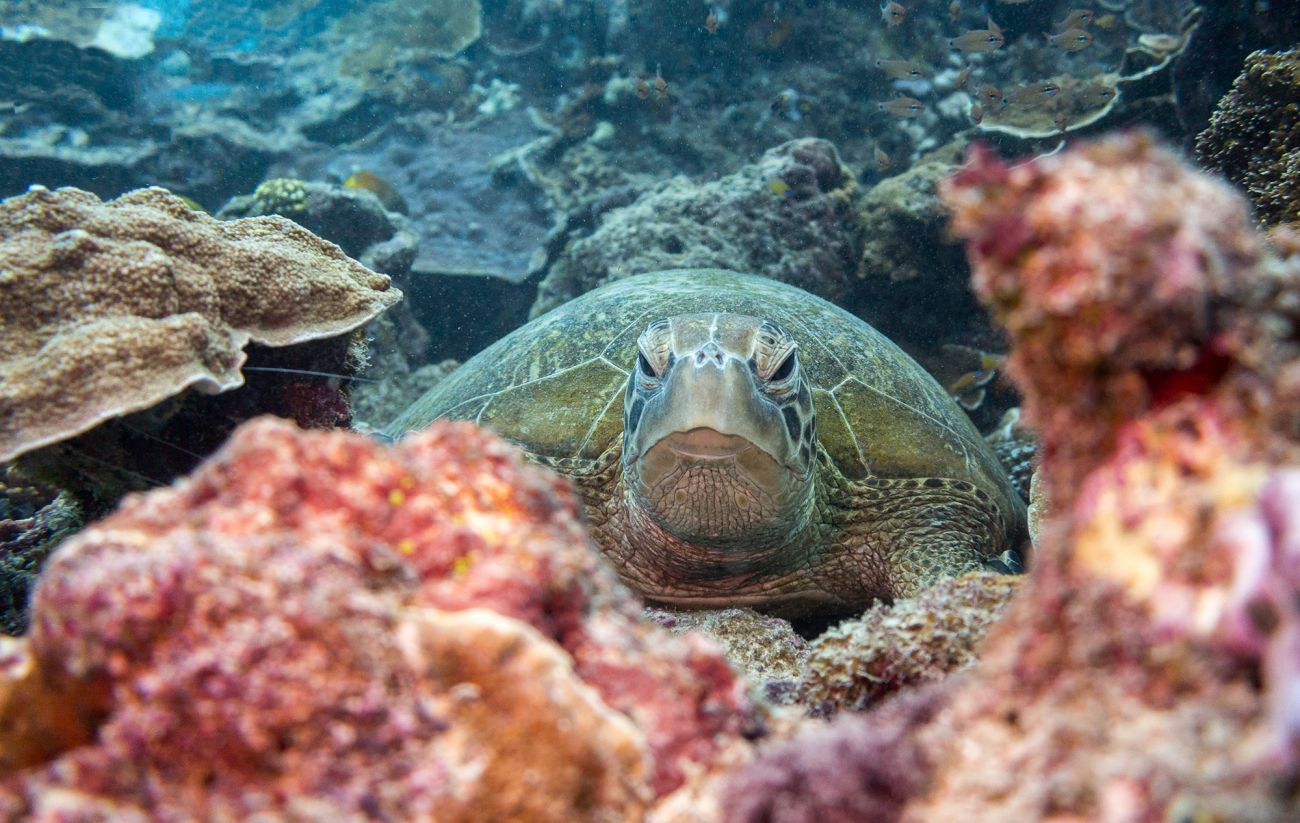Image of green turtle, coral reef, Australia, Great Barrier Reef. Image credit Nico Faramaz