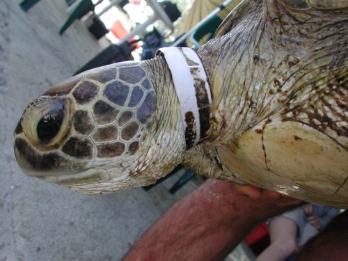 Green turtle with band around neck image credit: QLD Parks and Wildlife Service