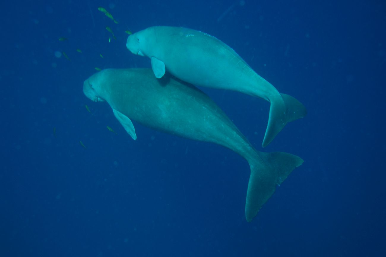 Image of Dugong mother and calf. Image credit Chris Jones