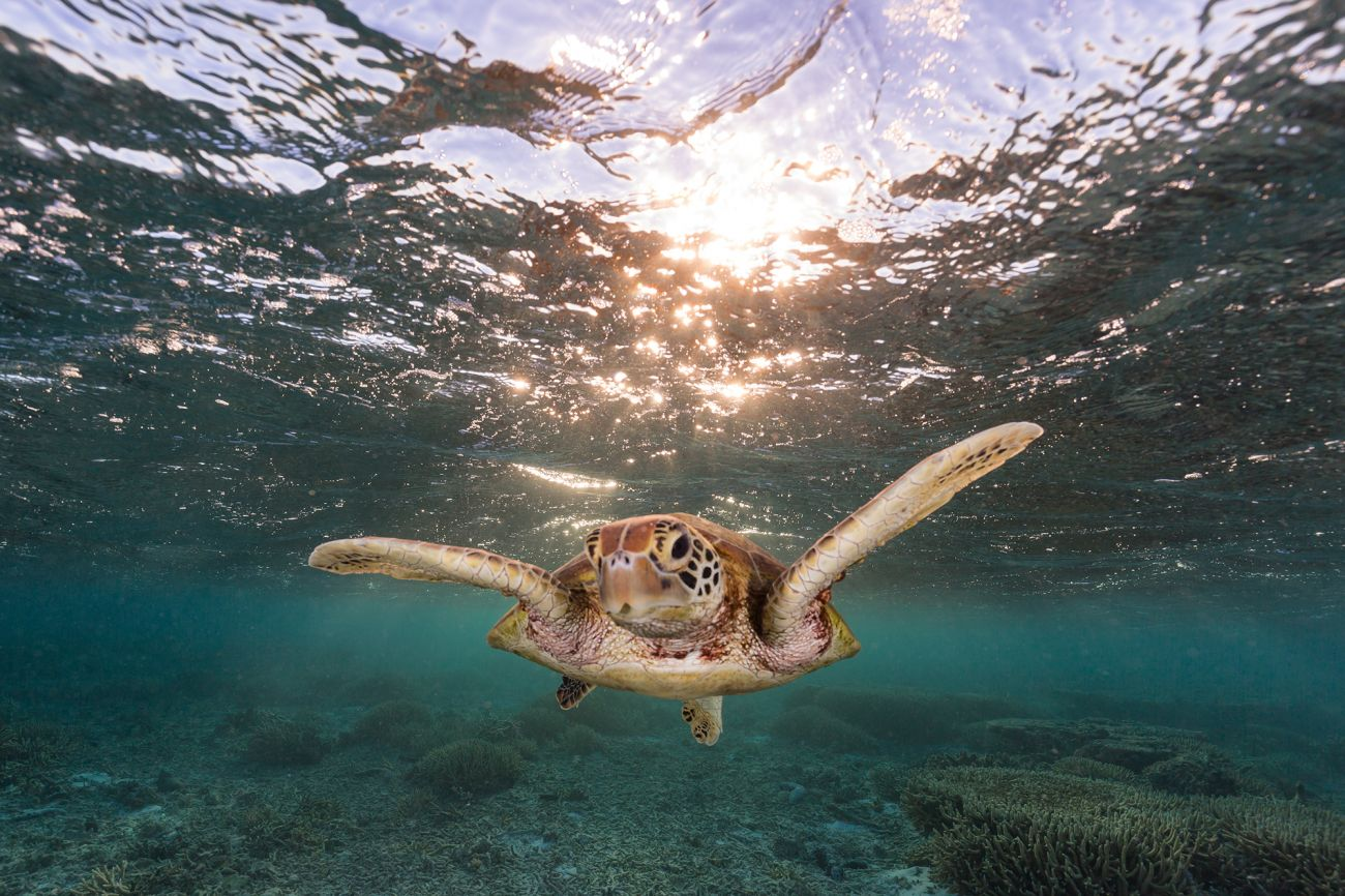 Turtle with warm sunlight near water surface - Image credit Jordan Robins Photography