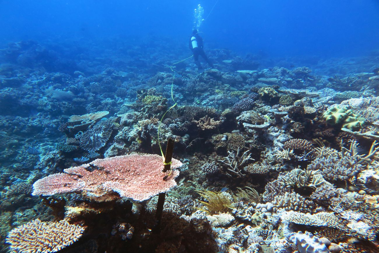 Healthy coral at Thetford Reef near Cairns, taken in 2016 before coral bleaching