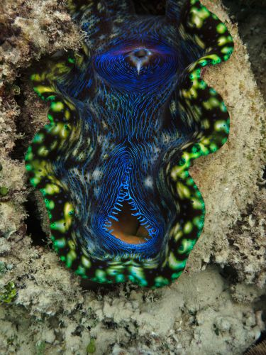 Image of Giant Clam, Tridacna Maxima, Great Barrier Reef. Image credit Pete Niesen