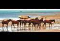 Managing and caring for our magnificent horses on our beautiful islands. Environmental partnership with the council by Dennis Newie of Moa Island