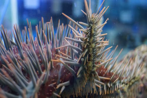 Crown of Thorns Starfish image credit Great Barrier Reef Marine Park Authority