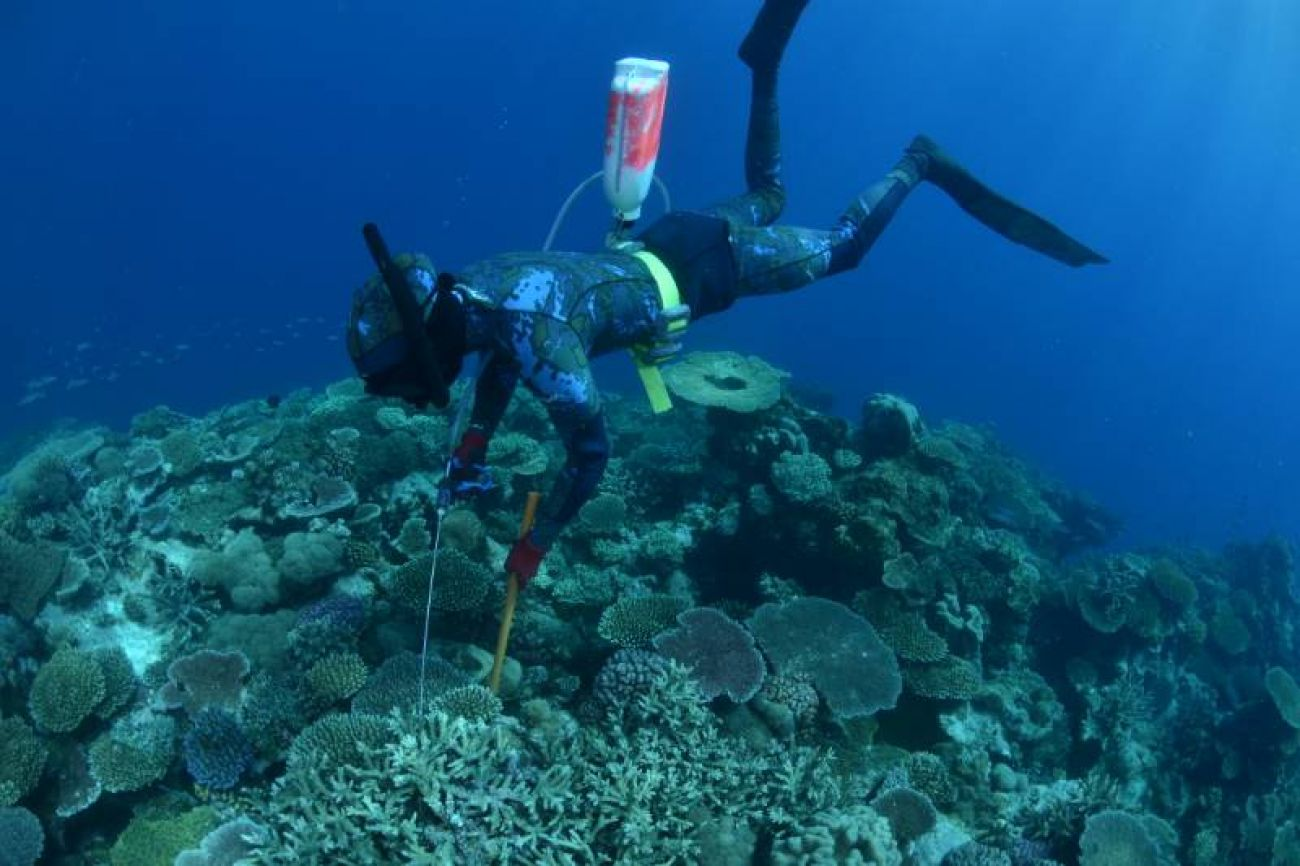 COTS diver locating crown-of-thorns starfish
