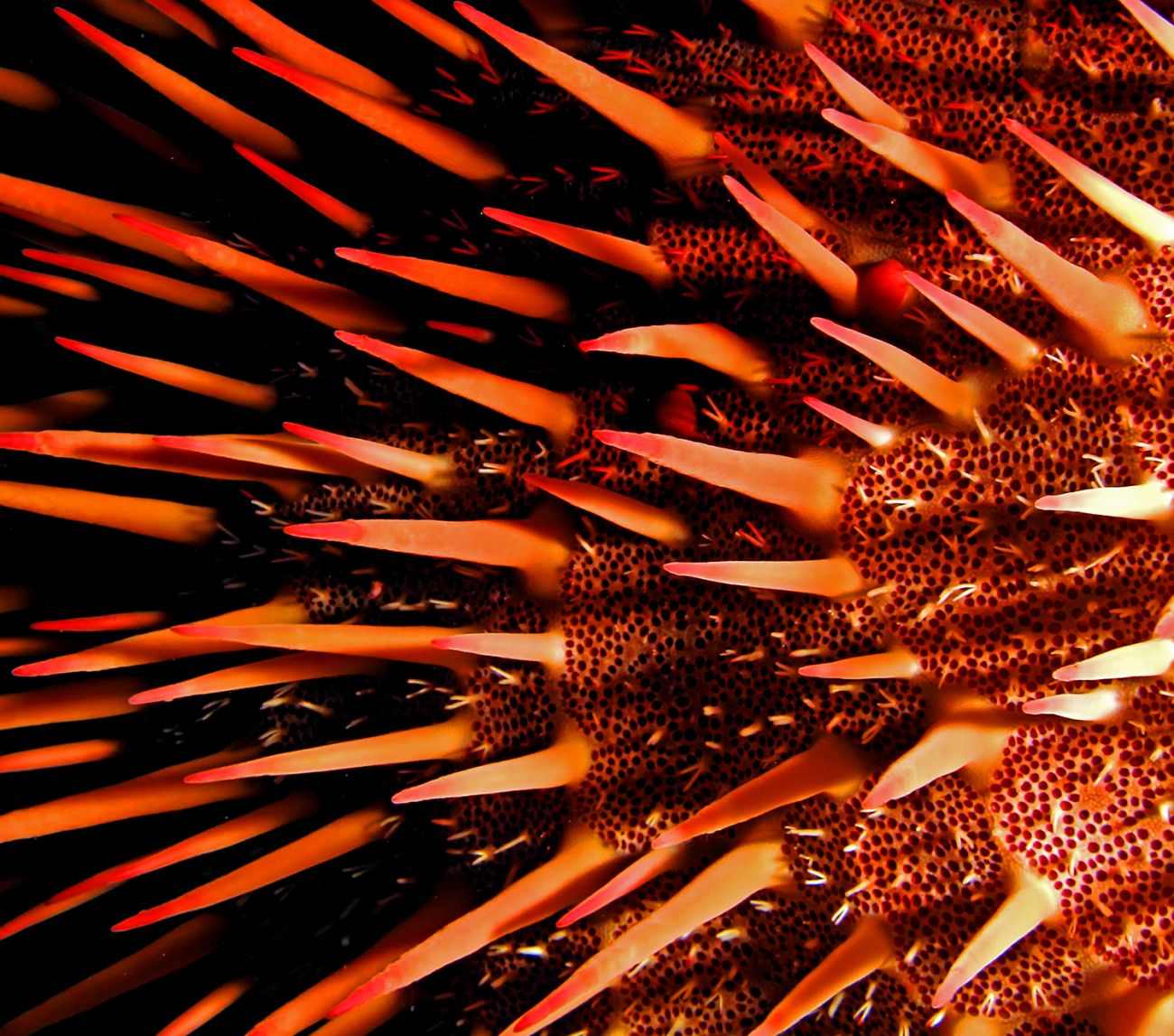Red Crown of Thorn Starfish Great Barrier Reef landscape