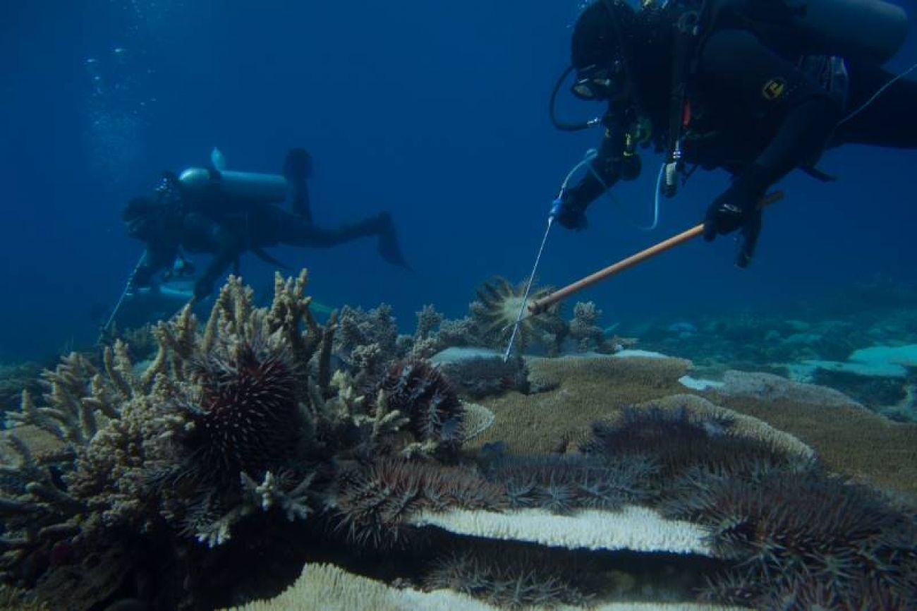 AMPTO diver/s monitoring and eradicating Crown-of-thorns Starfish