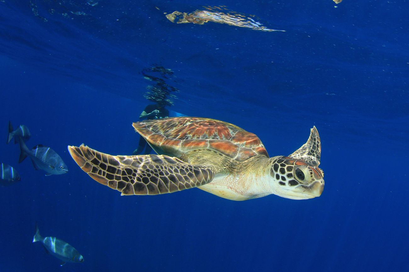 Image of green sea turtle, snorkeler, diver. Image credit Rich Carey