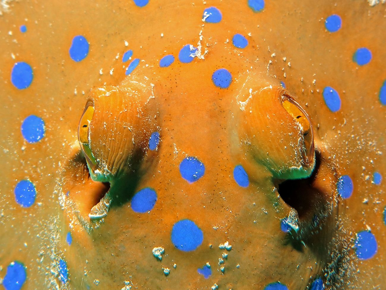 Image of Bluespotted Ribbontail Ray, Great Barrier Reef, QLD. Image credit SWB Photography