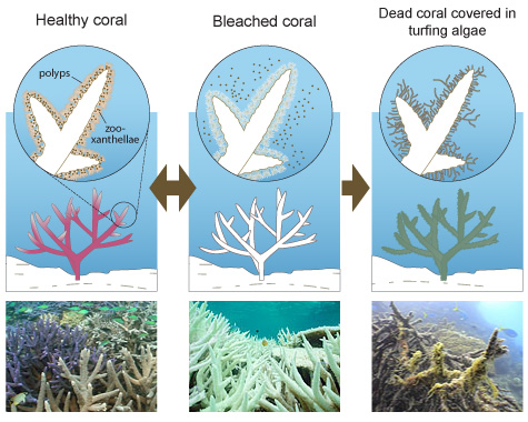 FIGURE 1 SHOWS HEALTHY ACOPORA CORAL, FULL OF COLOUR AND WITH LIVE POLYPS AND ZOOXANTHALLAE LIVING IN ITS TISSUE. FIGURE 2 SHOWS BLEACHED ACOPORA CORAL WITH THE ZOOXANTHALLAE LEAVING THEIR POSITION IN THE CORAL TISSUE. THE CORAL IS WHITE IN COLOUR, DUE TO THE ZOOXANTHALLAE LEAVING. FIGURE 3 SHOWS DEAD ACOPORA CORAL WHICH IS COVERED WITH GREEN TURFING ALGAE. THE CORAL HAS DIED BECAUSE THE WATER CONDITIONS HAVE REMAINED POOR FOR TOO LONG AND THE CORAL HASN'T HAD A CHANCE TO RECOVER FROM THE BLEACHING. PHOTO 1 IS OF A HEALTHY ACOPORA CORAL GARDEN, THE CORAL IS LIVE WITH VIBRANT COLOURS OF PURPLE, GREEN AND BROWN. PHOTO 2 IS OF BLEACHED CORAL. THE CORAL IS COMPLETELY WHITE AND ONLY ITS SKELETON IS LEFT. PHOTO 3 IS OF A DEAD CORAL GARDEN, COVERED IN GREEN ALGAE. THE CORALS' SKELETONS STILL REMAIN, BUT THEY ARE NOT FUNCTIONING.