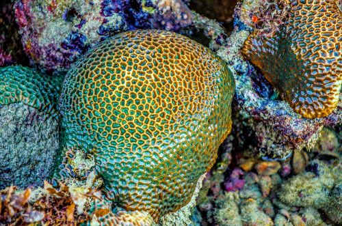 Image of close up, stony coral, corallites, low tide, Great Barrier Reef. Image credit Jen Watson