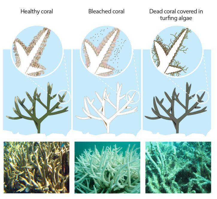 Coral bleaching health info graphic - healthy, bleached, dead coral covered in algae