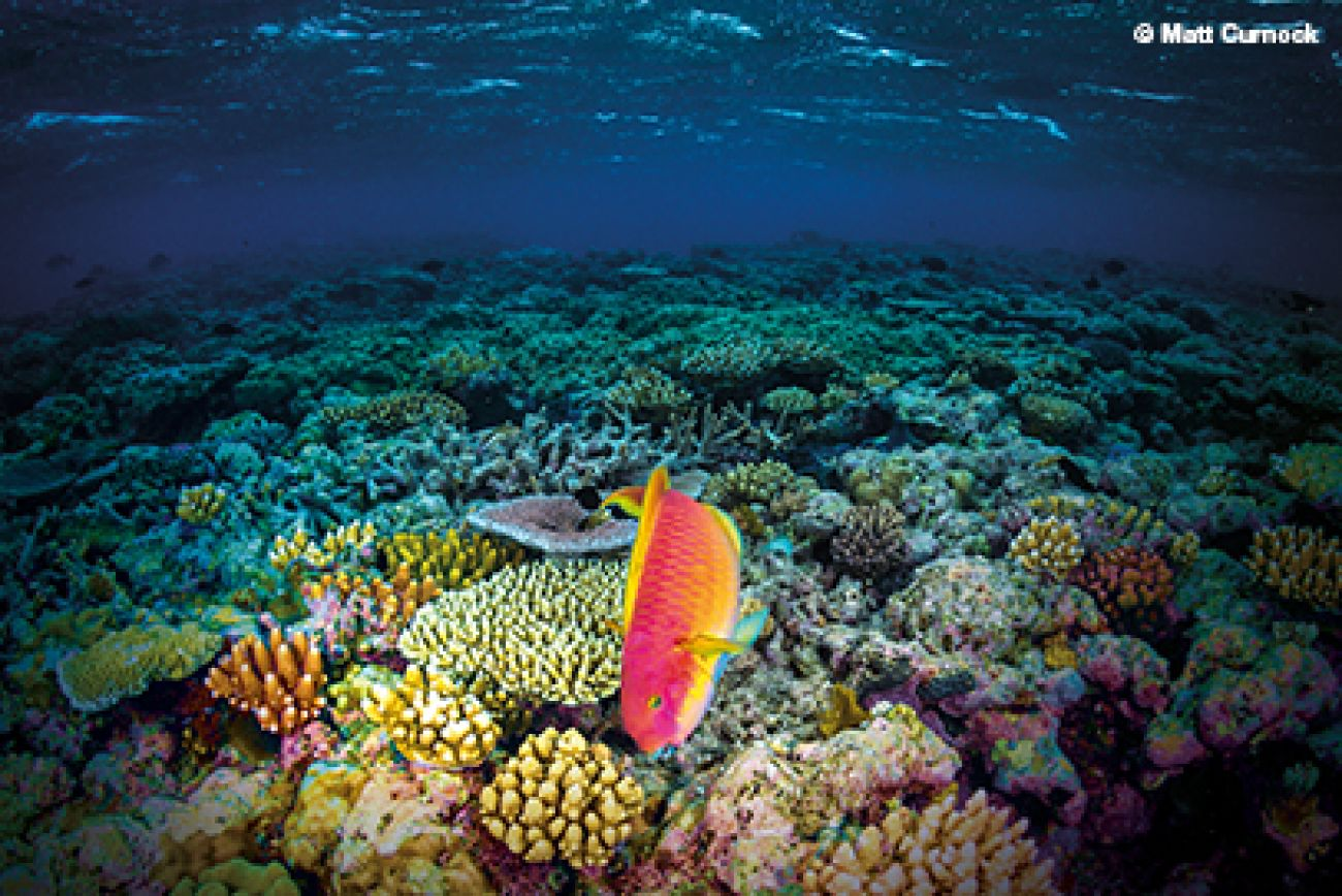 Underwater photograph of a parrotfish above a coral reef