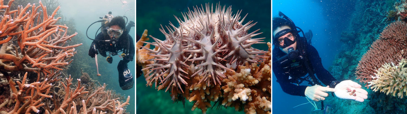 Drupella found within the Great Barrier Reef Marine Park as part of the Tourism Activation Project