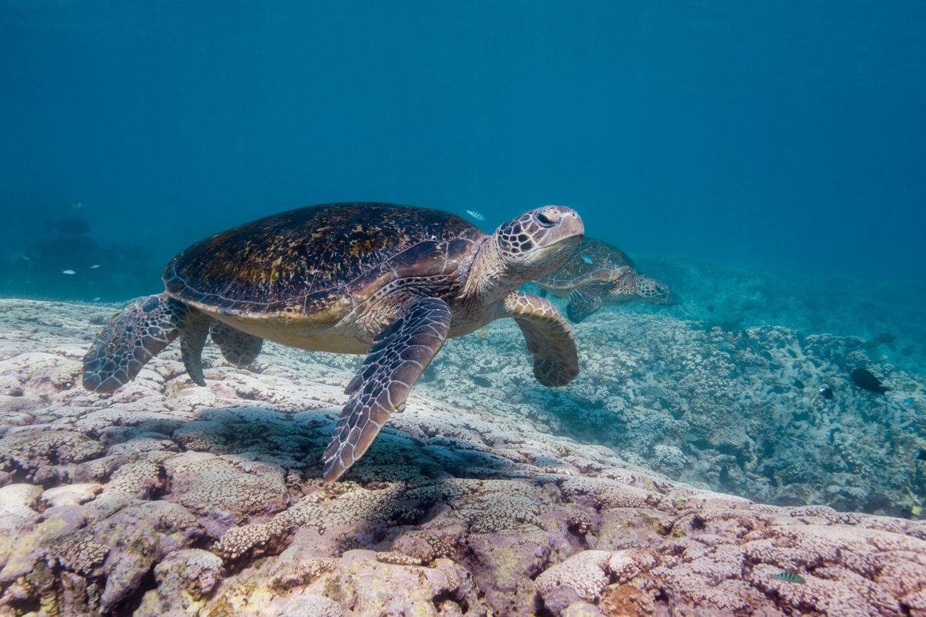 Image of a turtle over coral reef, Great Barrier Reef, QLD. Image credit Ashton Ea